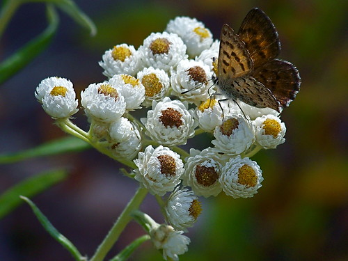Butterfly and Pearly Everlasting