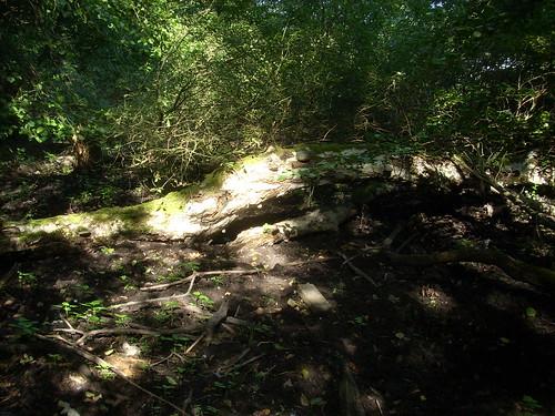 Licht auf umgestürzter Birke