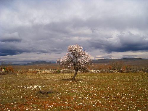 Almond tree in Bukovica...