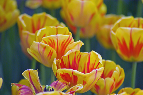 yellow tulips, istanbul tulip festival