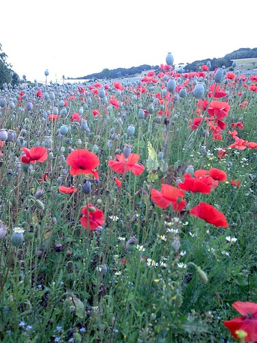 Poppies on the Clarendon Way 1