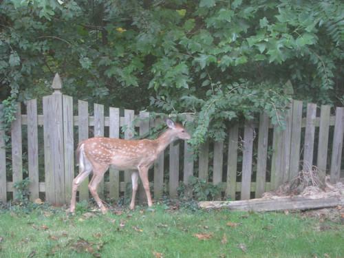 Deer in our yard - 20080912-1