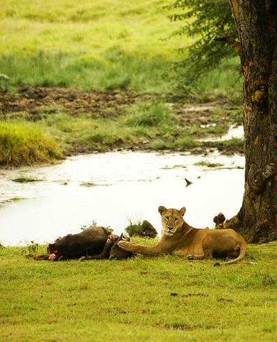 Lioness With Her Kill