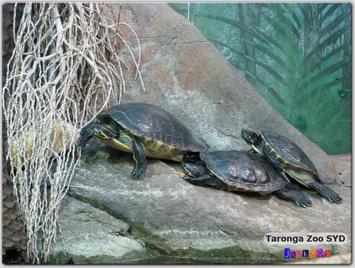 Taronga Zoo - River Cooter