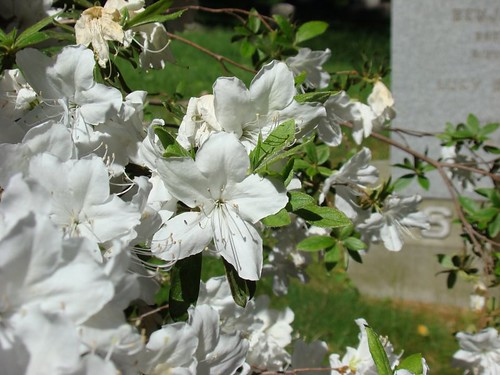 white flowers 2