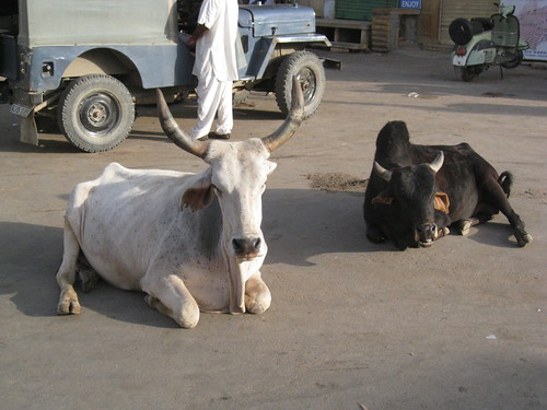 street oxen