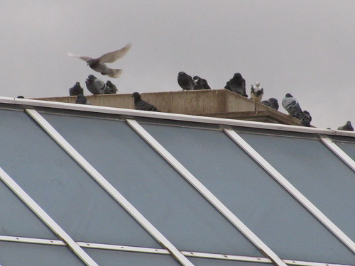 Pidgeons atop the Edwardian Hotel