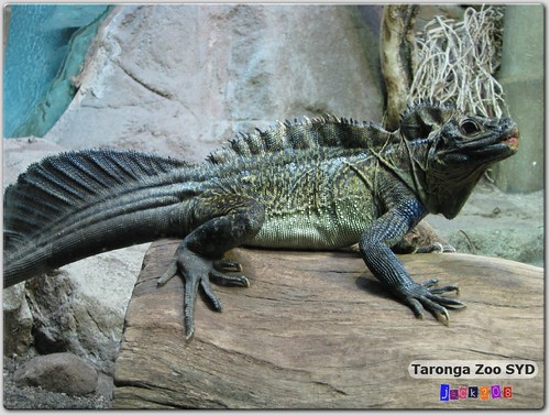 Taronga Zoo - Sailfin Lizard