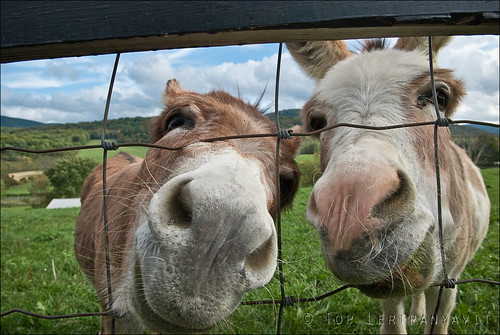 Curious donkeys