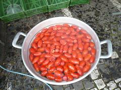 Faites de la tomate 2008