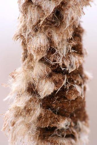 Cattail head