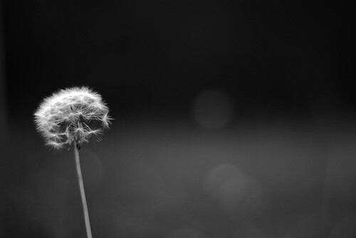 #55/365 - What's the time dandelion clock?