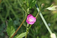 新治市民の森のアカバナユウゲショウ(Flower, Niiharu Community Woods, Yokohama, Kanagawa, Japan, 2011)