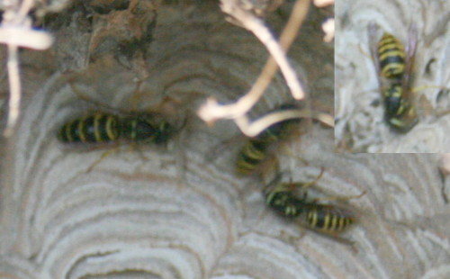 Eastern Yellowjacket, Vespula maculifrons