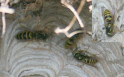 Eastern Yellowjacket, Vespula maculifrons