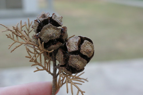 sort of like a pine cone but round by you.