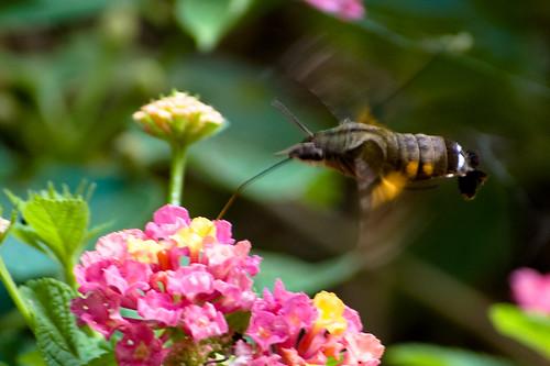 小長喙天蛾 Macroglossum troglodytus