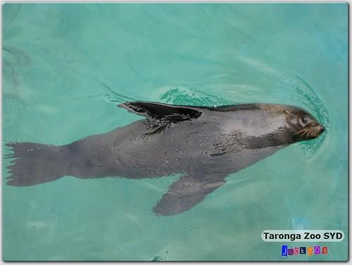 Taronga Zoo - California Sea Lion