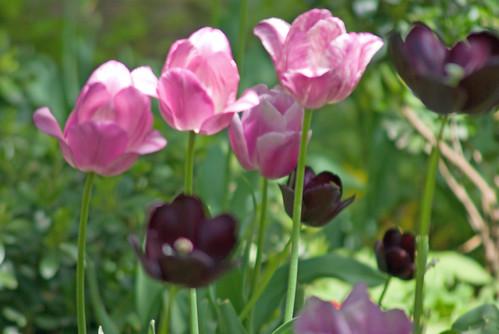 purple and black tulips, istanbul tulip festival, istanbul, pentax k10d