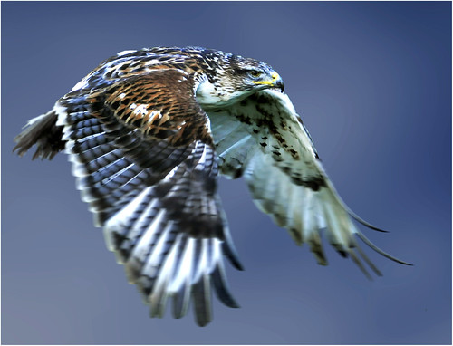 Ferruginous hawk in flight by hawkgenes.