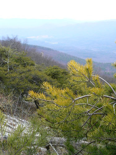 Sinking Creek Mountain - Pine Needles and View