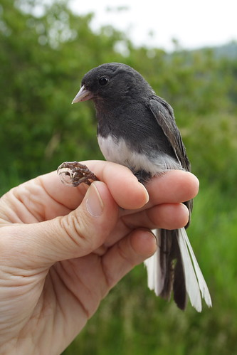 Dark-eyed Junco in the Hand