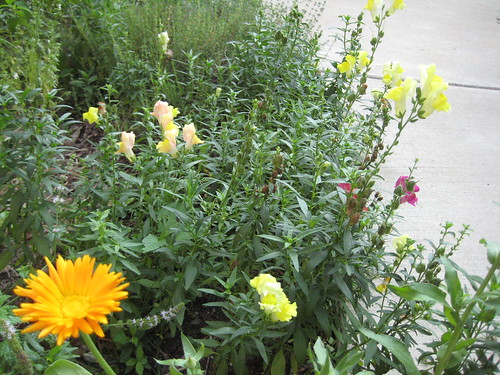 Calendula and snapdragons