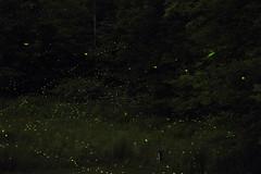 Catskills Fireflies (single exposure)