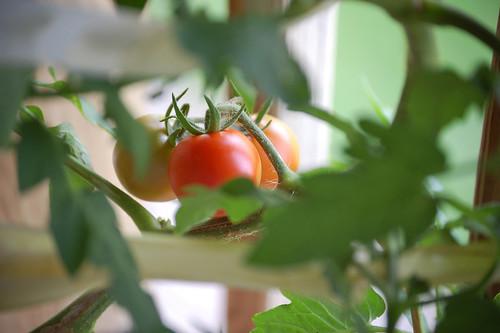 First Cherry Tomato
