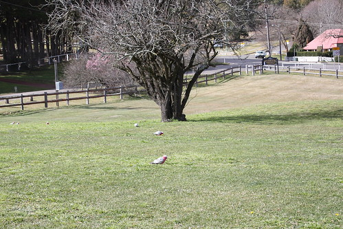 Berrima, parrots on a lawn