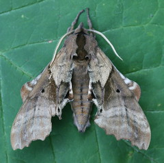 Blinded Sphinx - Hodges#7824 (Paonias excaecatus)