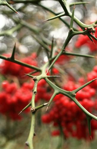 Scarlet thorns
