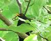 Blackbird in the trees