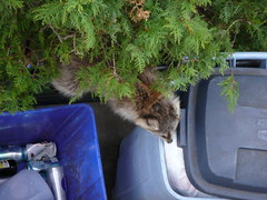 Raccoon in garbage