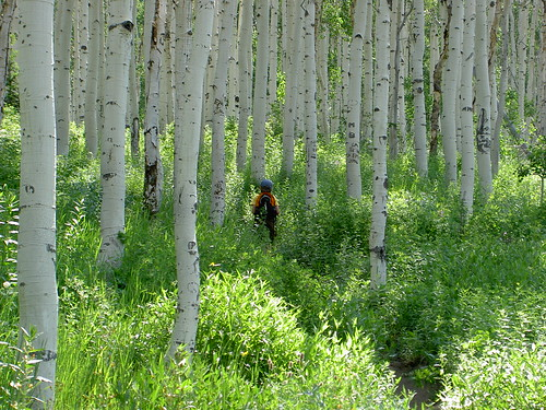 In an Aspen Grove