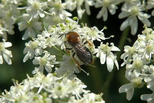 Foraging Andrena haemorrhoa