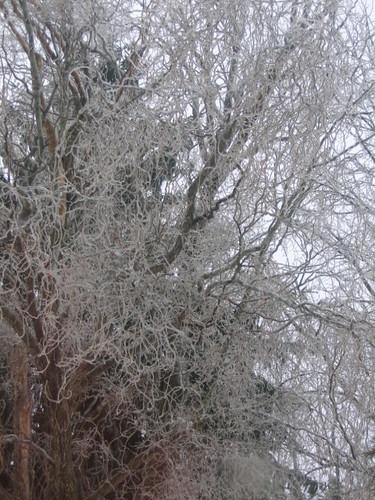 Iced Tree Feb 2007
