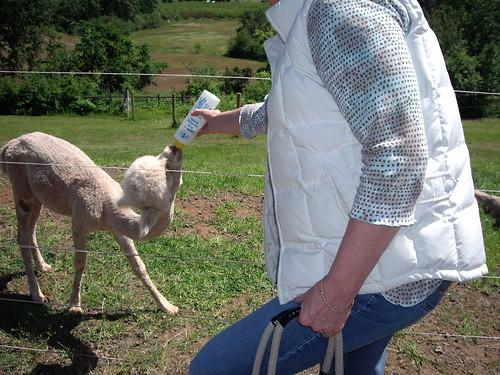 Feeding a baby alpaca