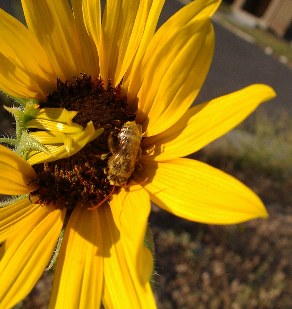 one bee and a sunflower