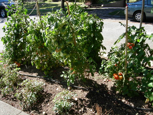 Street tomato patch