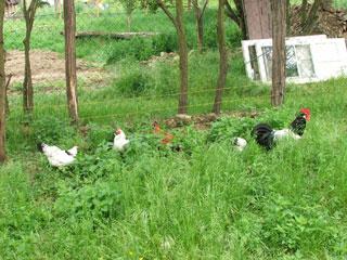 DSCF5996 haan met kippen