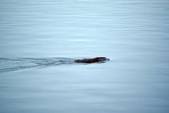 Beaver Swimming in RdP