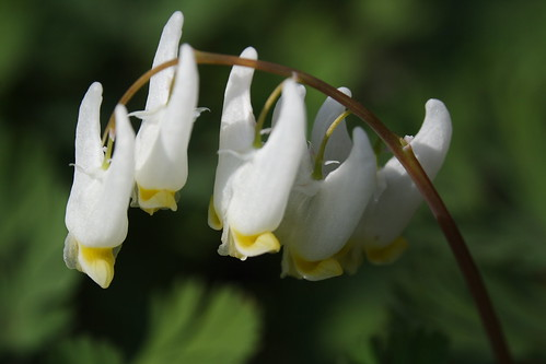 Dutchman's Breeches Closeup