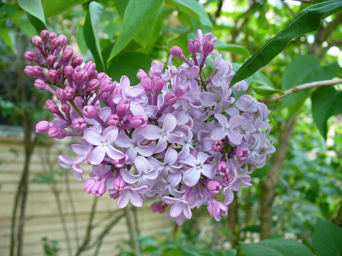 When lilacs last...