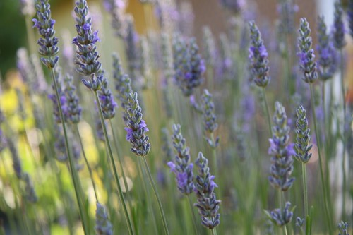 lavendar in bloom