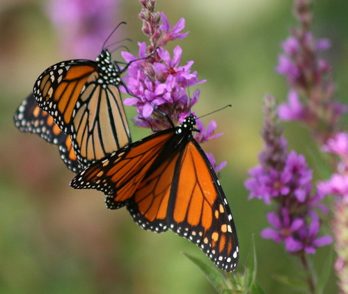Monarchs on Purple Loosestrife