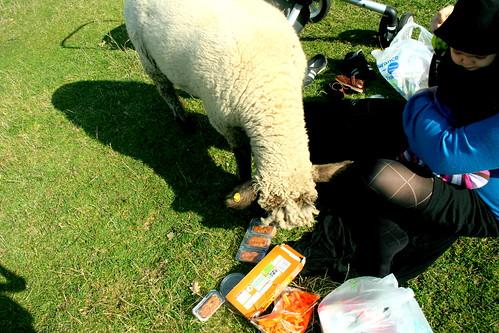 do not picnic near sheep.