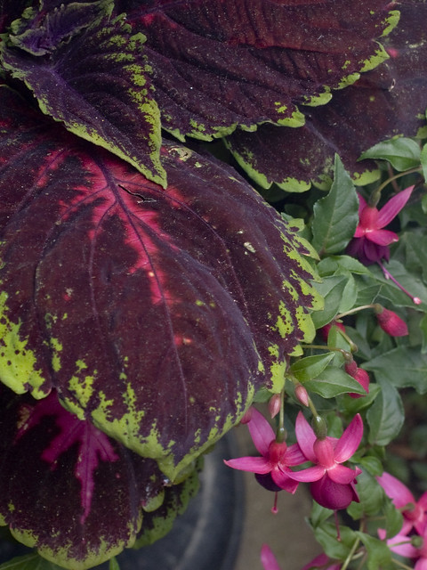 Fuchsia 'President G Bartlett' and Kong™ Red Coleus