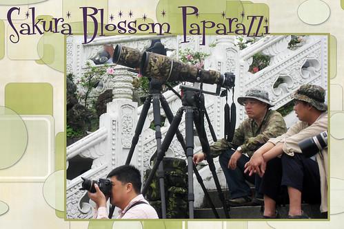 Sakura Blossom Paparazzi