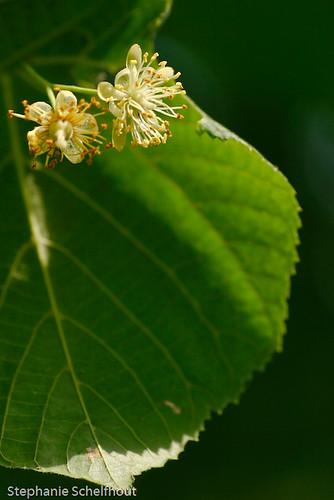 Tilia plathyphyllos